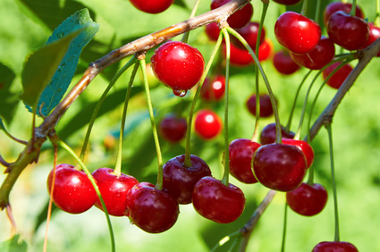 Bright red cherries with waterdrops in sunlight